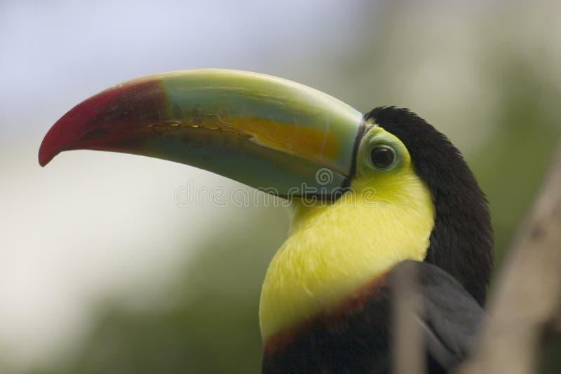 Download Toucan stock image. Image of rainforest, rainbow, toucan - 68805