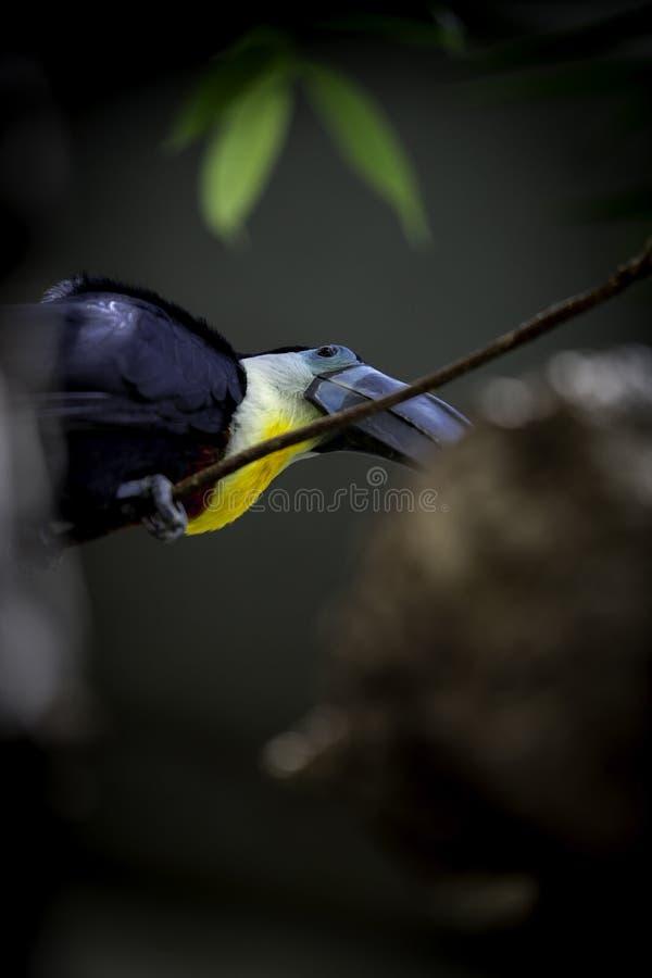 Toucan au zoo images libres de droits