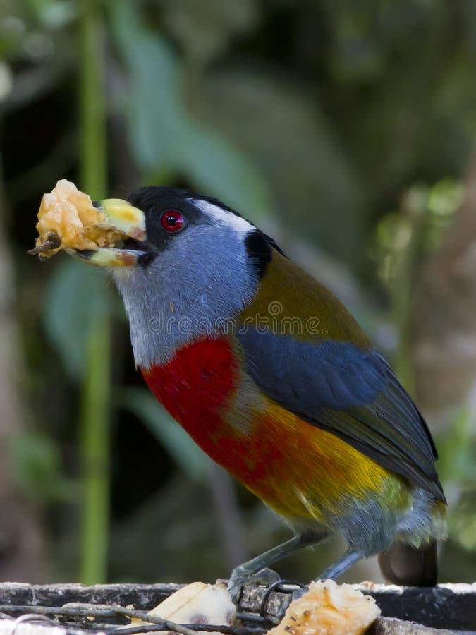 Toucan Barbet stock image
