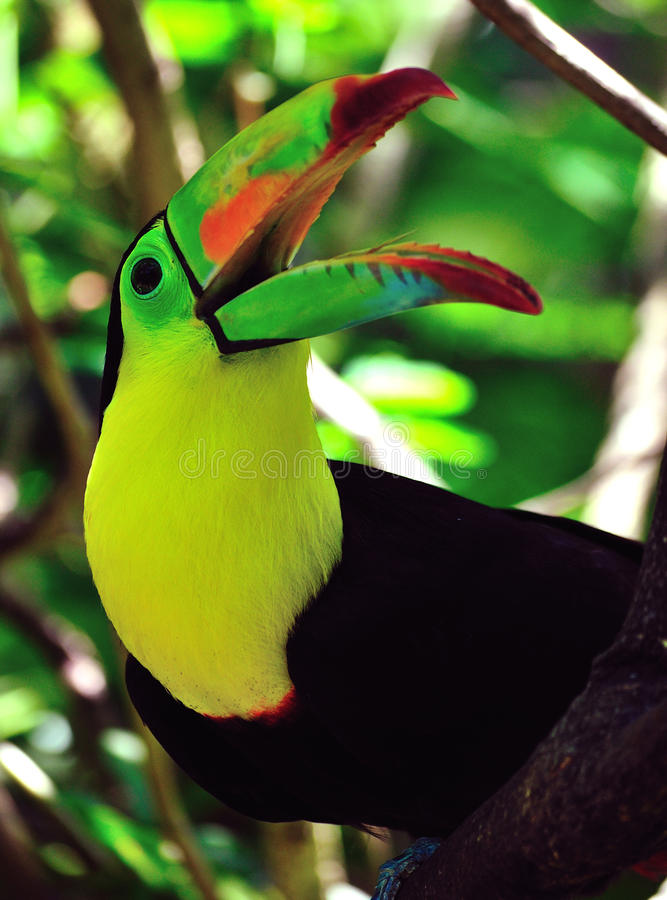 Toucan with beak open. Keel-billed Toucan (Ramphastos sulfuratus) with its beak open royalty free stock images