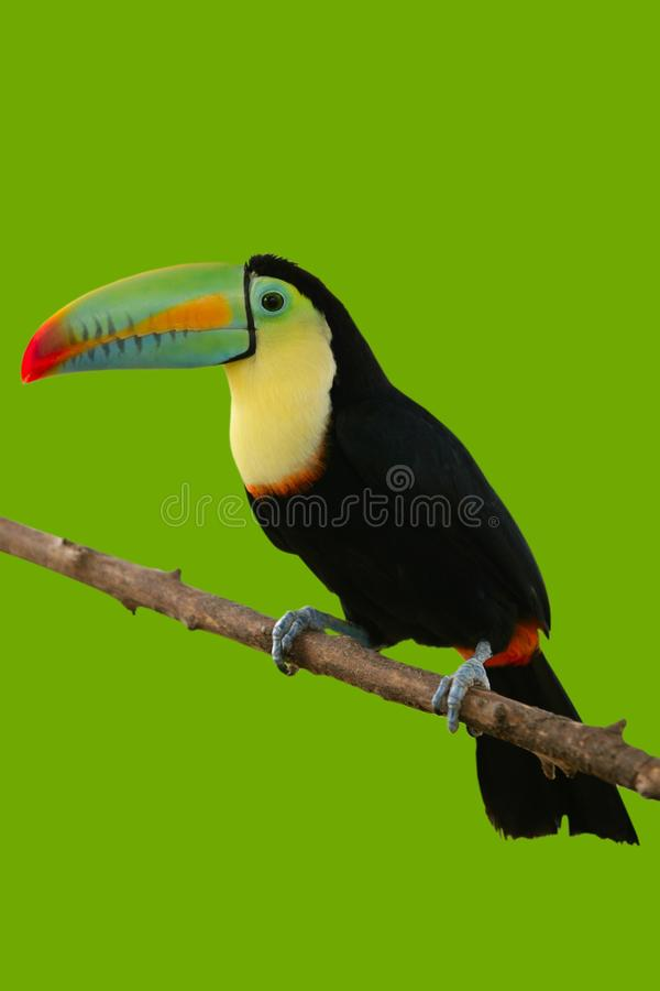 Toucan Bird Colorful In Green Background Royalty Free Stock Photo