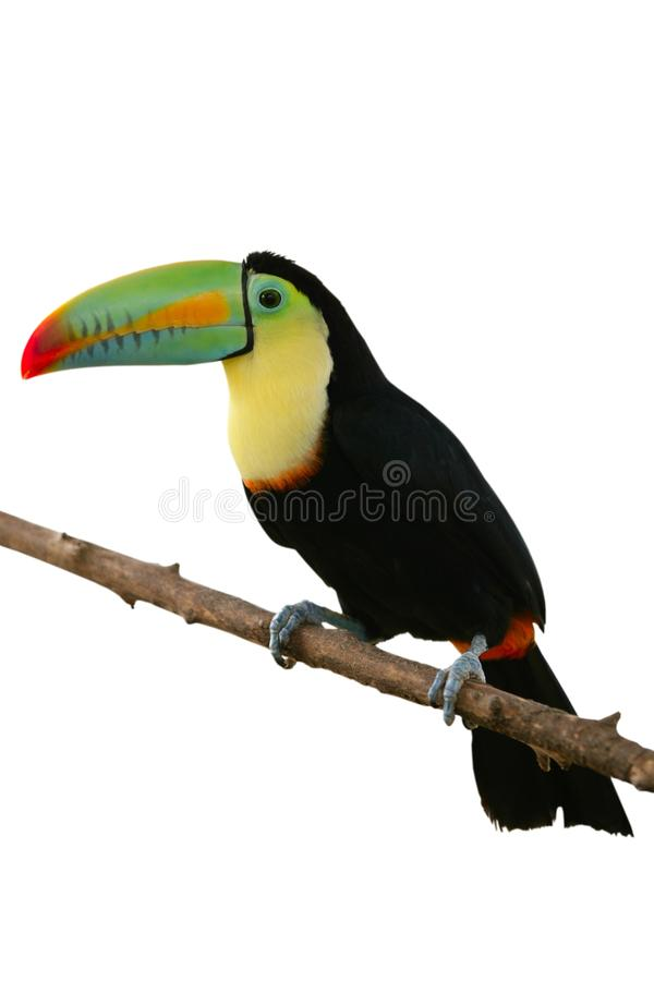 Toucan bird colorful in white background stock images