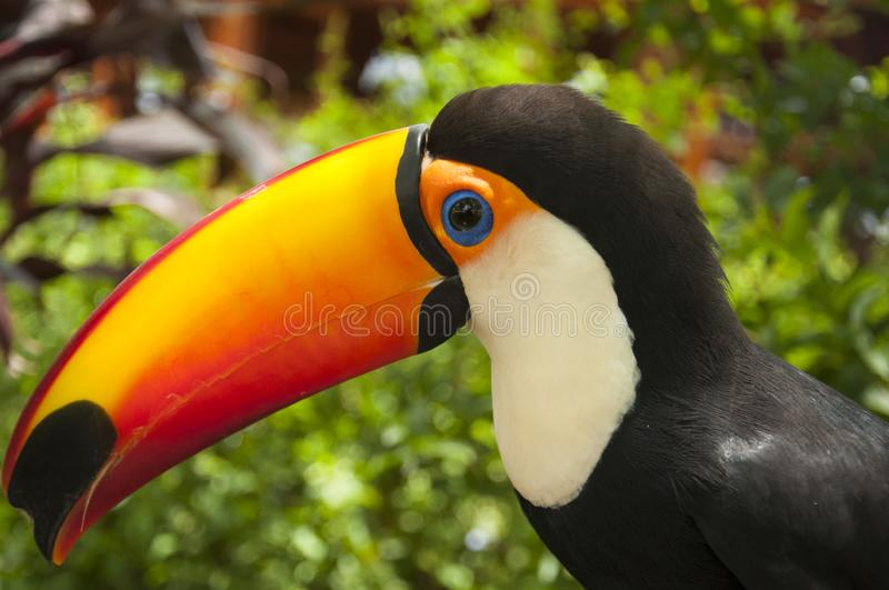 South american multicolored toco toucan close uo royalty free stock photo