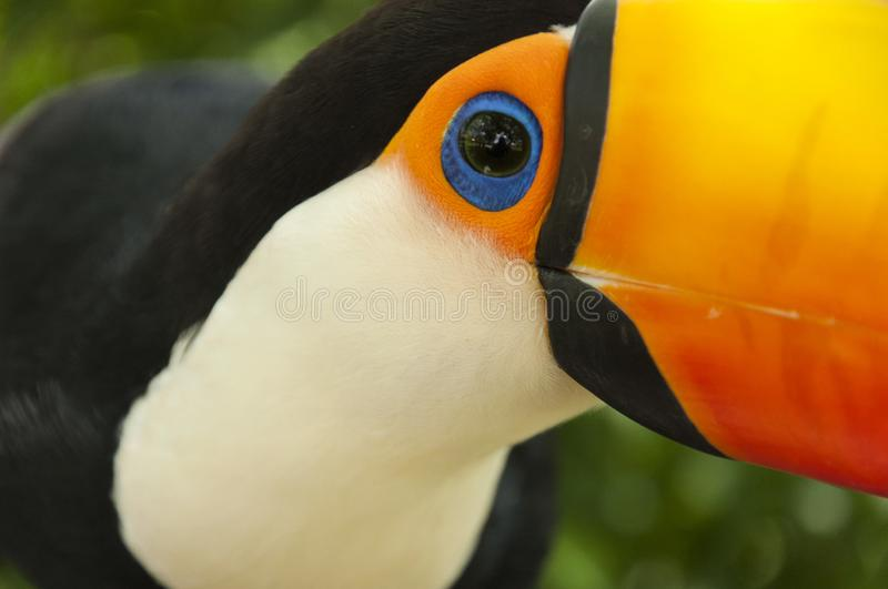 South american toco toucan Bird eye close up stock photo
