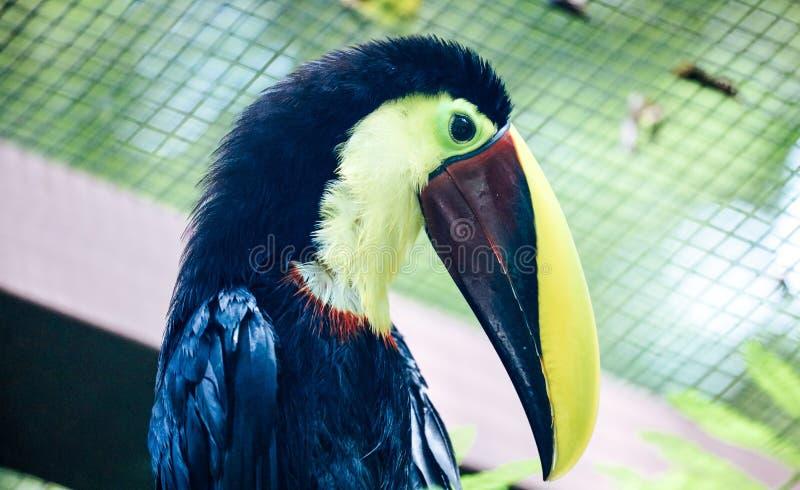Toucan black and yellow beak beautiful Costa Rica paradise bird. Gorgeous animal stock photo