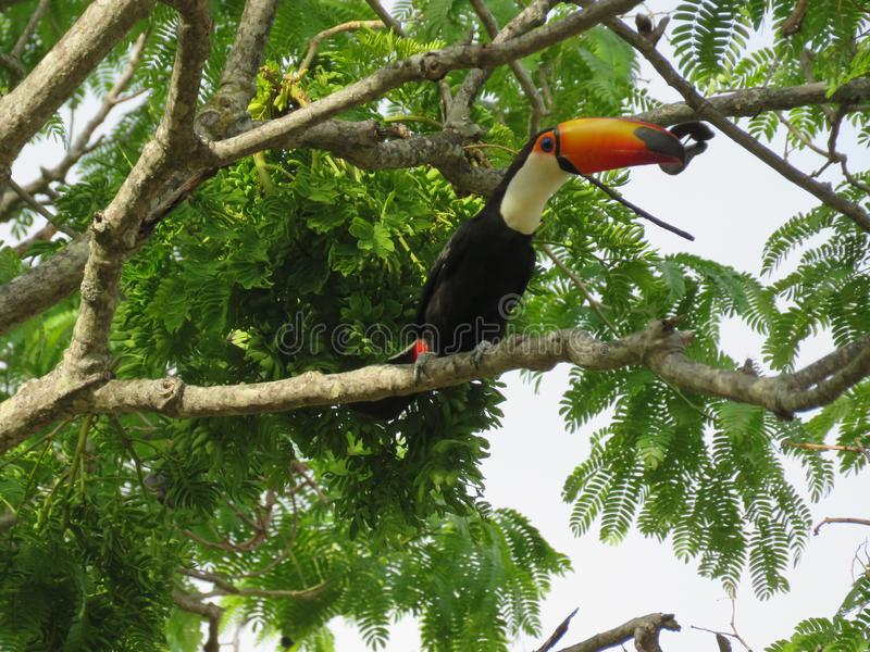 A toucan on the branch. A beautiful and happy bird on the tree and receiving the sun. The typical toucan has the black plumage with the colored neck and its stock images