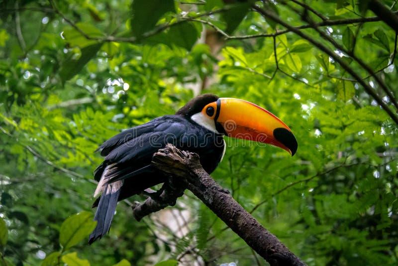 Toucan chez Parque DAS Aves - Foz font Iguacu, Parana, Brésil photos libres de droits