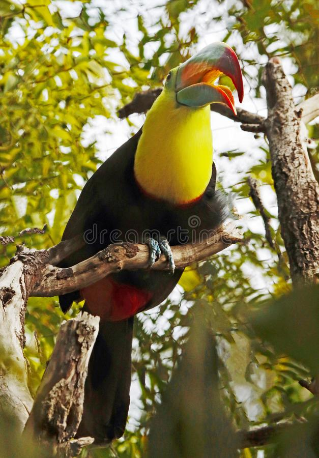 Toucan. Close up portrait of keel-billed tropical bird stock image