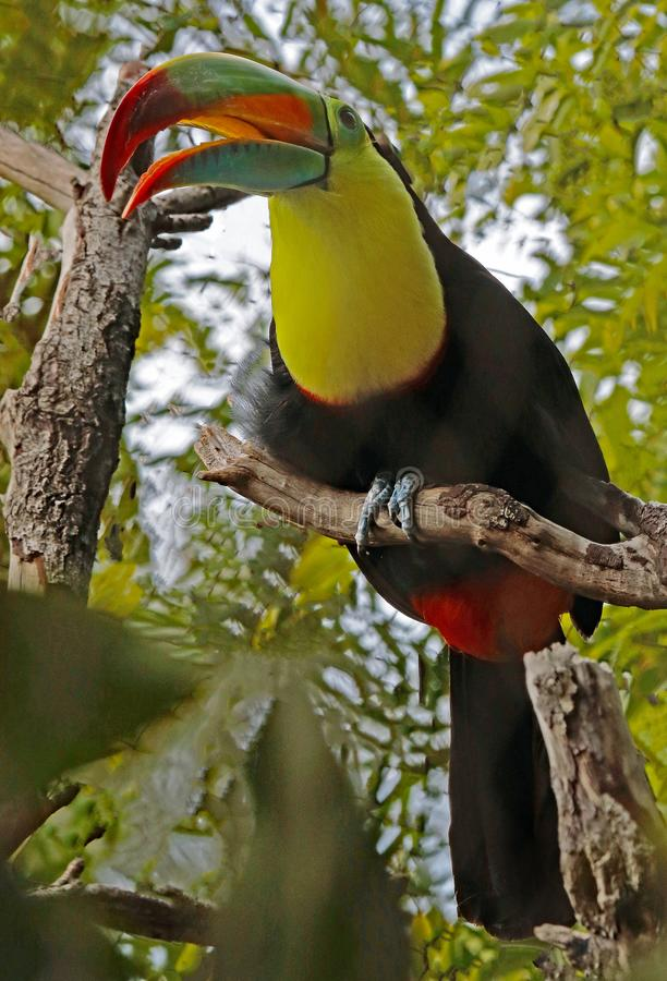 Toucan. Close up portrait of keel-billed tropical bird stock photo