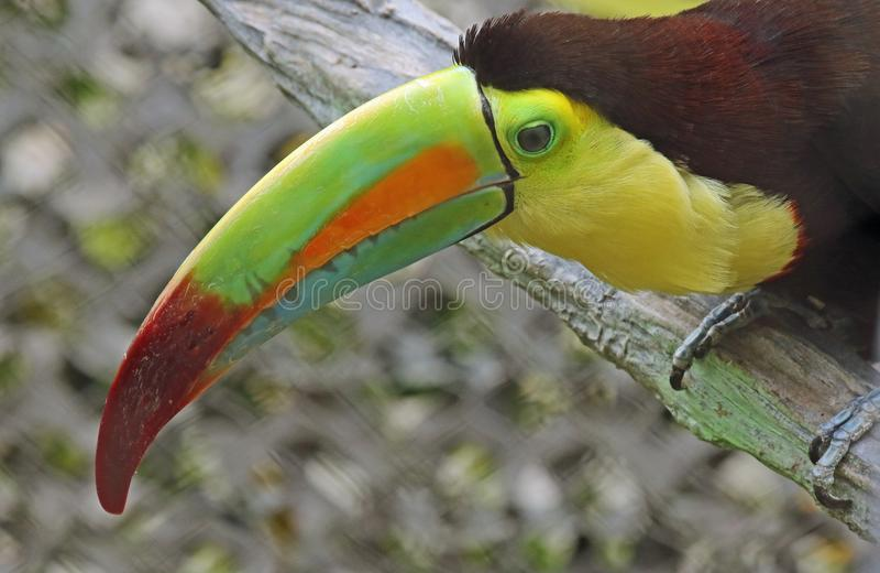 Toucan. Close up portrait of keel-billed tropical bird stock photos