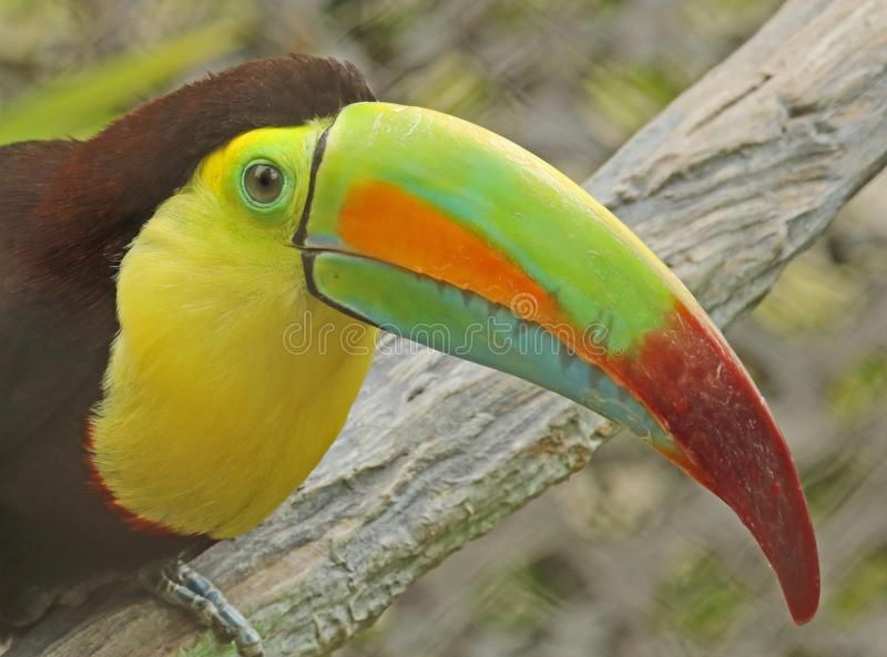 Toucan. Close up portrait of keel-billed tropical bird royalty free stock image
