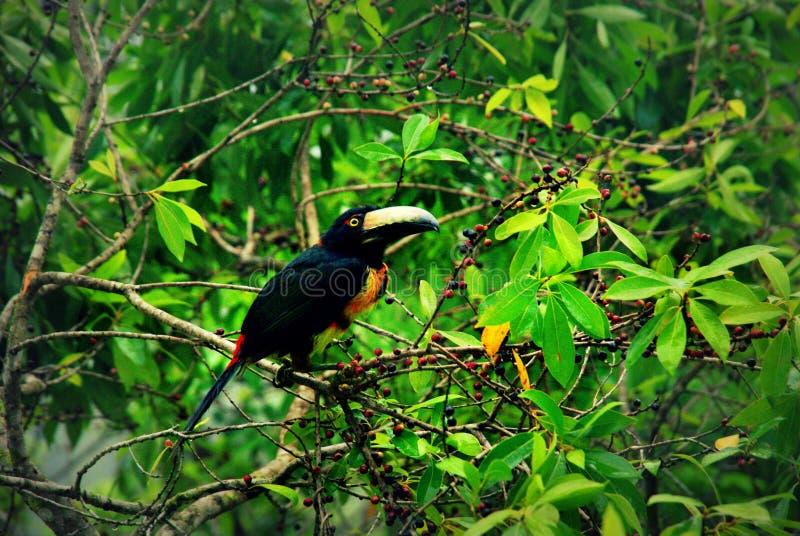 Toucan colleté d'aracari recherchant des baies dans une cime d'arbre au Guatemala photographie stock