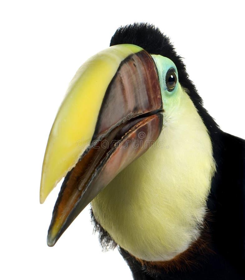 Toucan dello Swainson immagini stock
