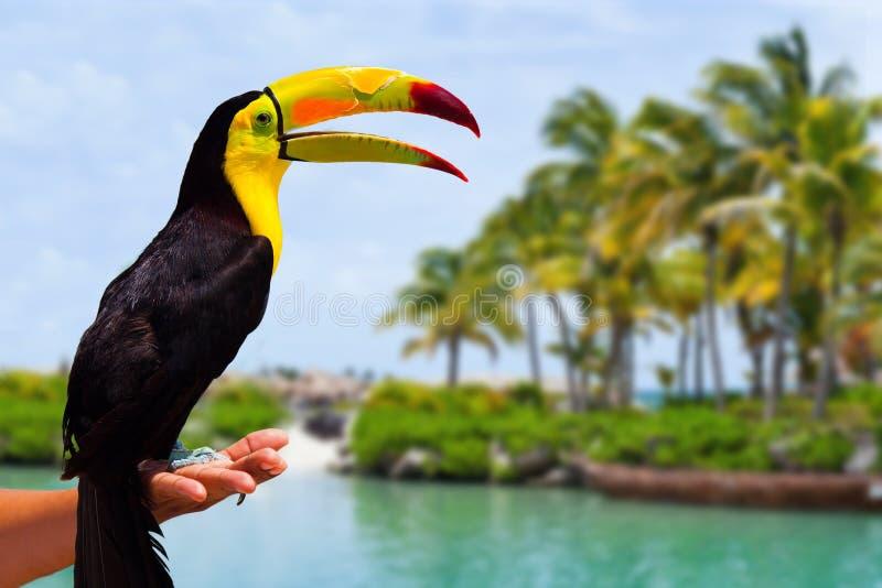 Toucan des Caraïbes en Riviera maya photos stock