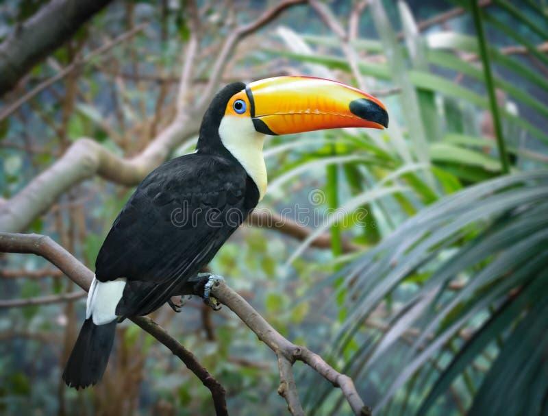 Toucan in einem Dschungel lizenzfreies stockfoto