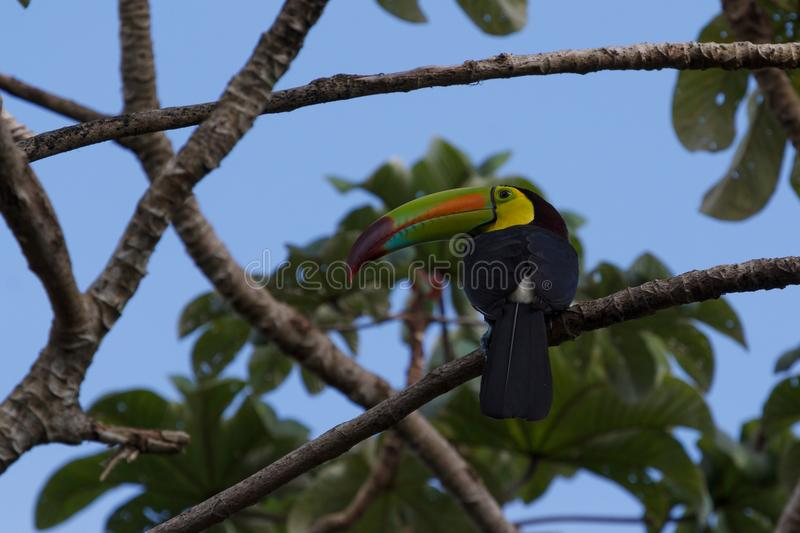 Toucan in the forest around Lamanai ruins stock images