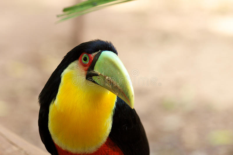 Toucan, Iguazu Falls royalty free stock images
