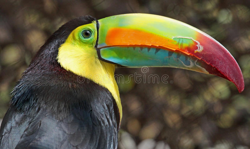 Toucan. Keel-billed toucan close up portrait royalty free stock photography