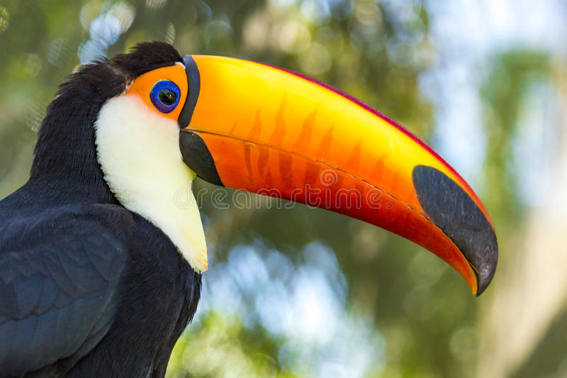 Toucan Macaws royalty free stock images