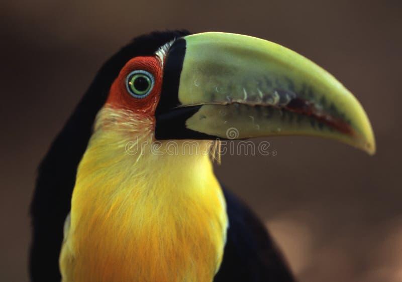 Toucan nel Brasile fotografia stock