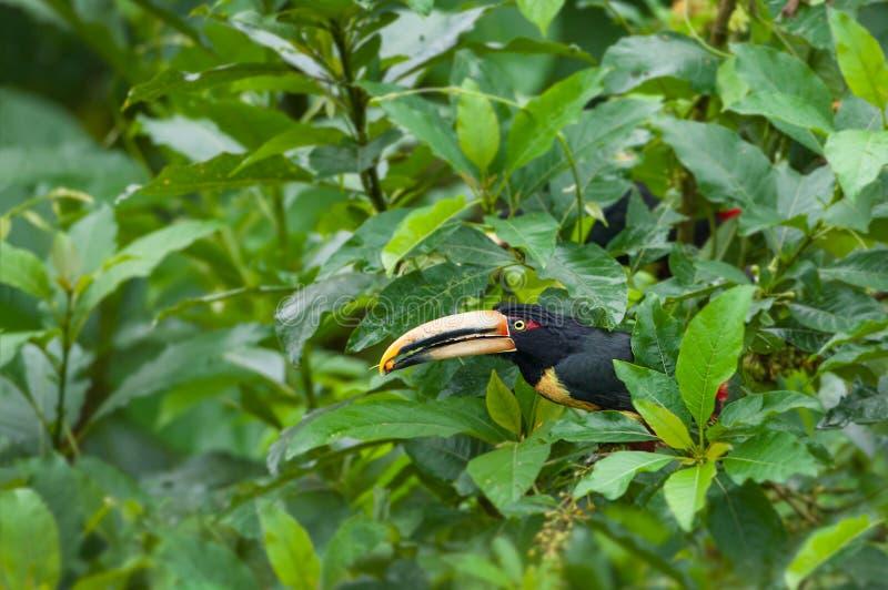 Toucan pâle-Mandibled d'Aracari photo stock