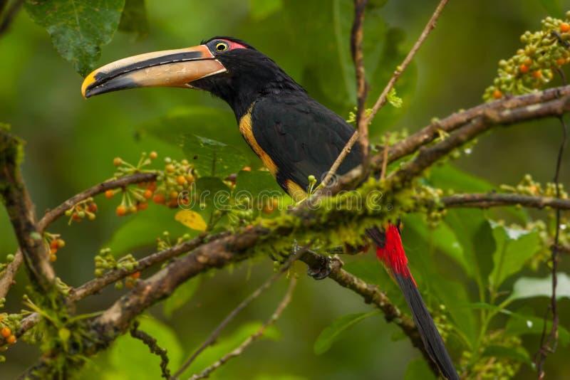 Toucan pâle-Mandibled d'Aracari photos libres de droits