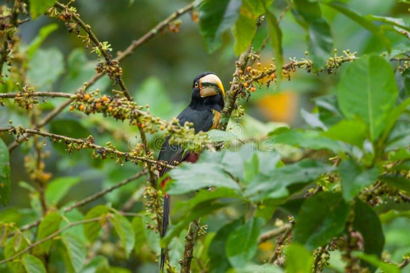 Toucan pâle-Mandibled d'Aracari photo libre de droits
