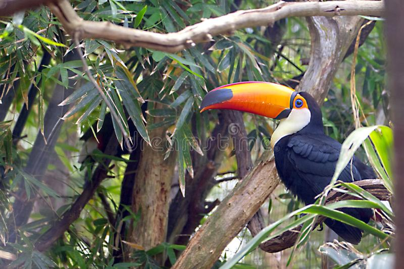 Toucan In A Dense Forest royalty free stock image