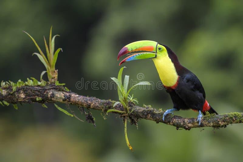 toucan Quille-affiché - sulfuratus de Ramphastos image libre de droits