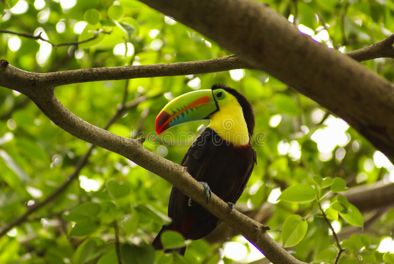 Toucan in rain forest with tree and foliage, early in the morning after rain. royalty free stock photography