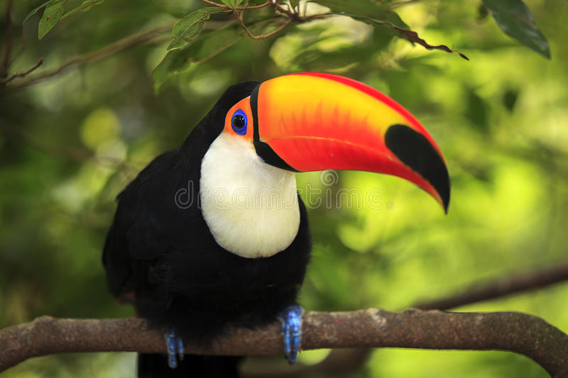 Toucan (Ramphastos toco). Sitting on tree branch in tropical forest or jungle stock images