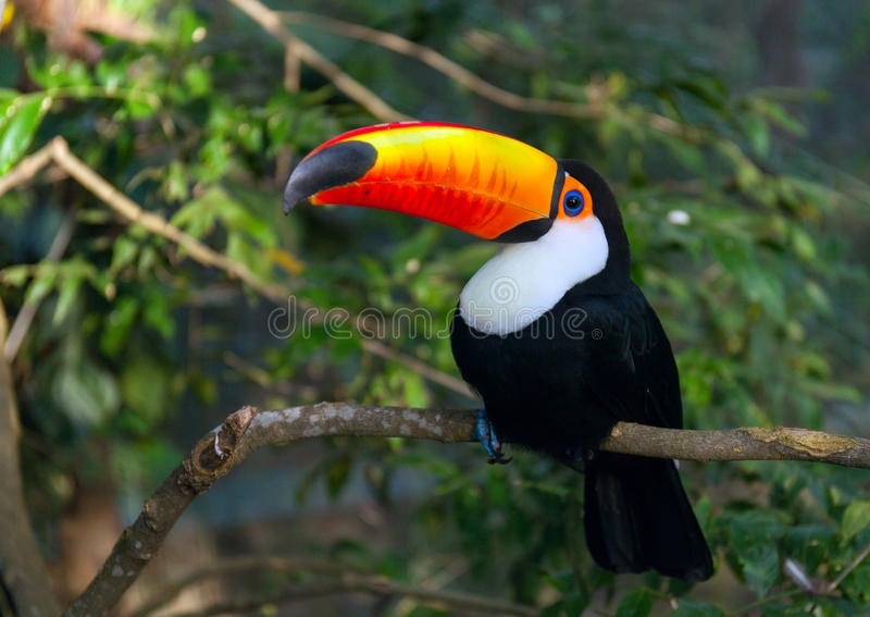 Toucan Ramphastos toco sitting on tree branch in tropical forest stock image