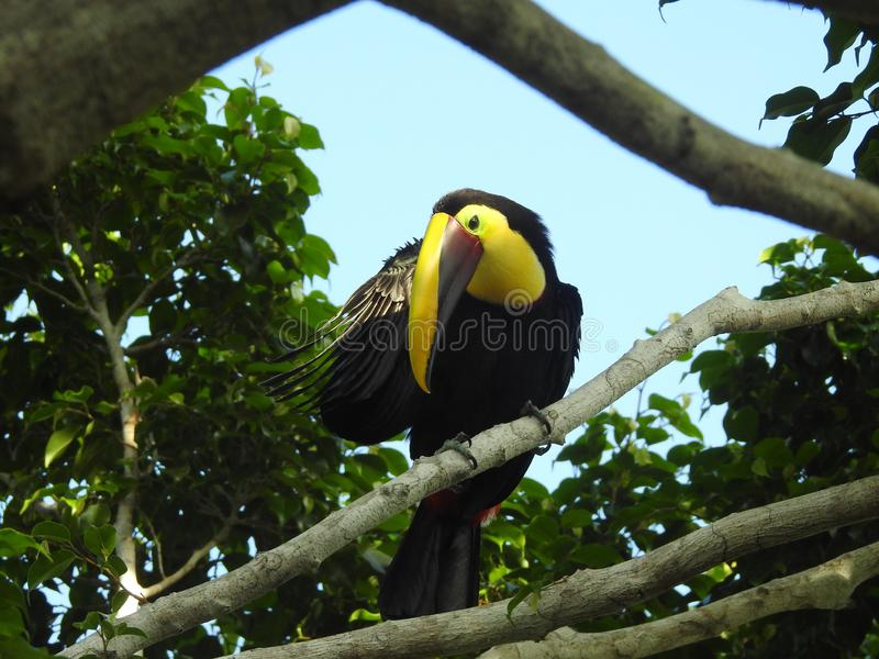 Toucan scratching an itch, Costa Rica. This Toucan hangs out in our Ficus tree, seems he has an itch to scratch stock photo