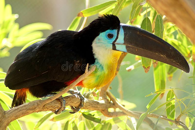 Toucan sitting on a bench in the jungle stock image