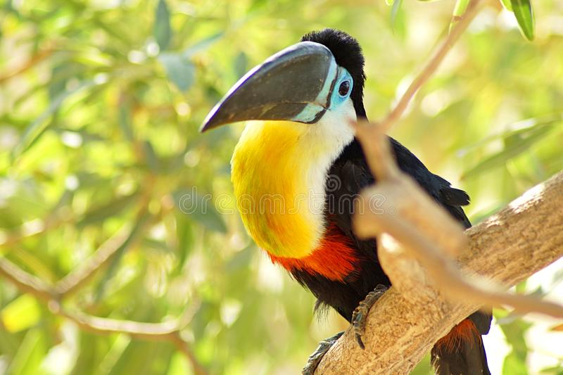 Toucan sitting on a bench in the jungle royalty free stock photo