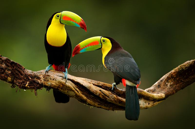 Toucan sitting on the branch in the forest, green vegetation, Costa Rica. Nature travel in central America. Two Keel-billed Toucan. Ramphastos sulfuratus, pair stock images