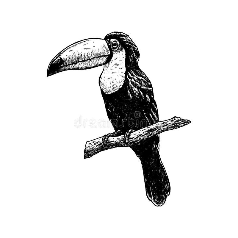 Toucan tiré par la main Croquis de vecteur Illustration d'animal illustration de vecteur