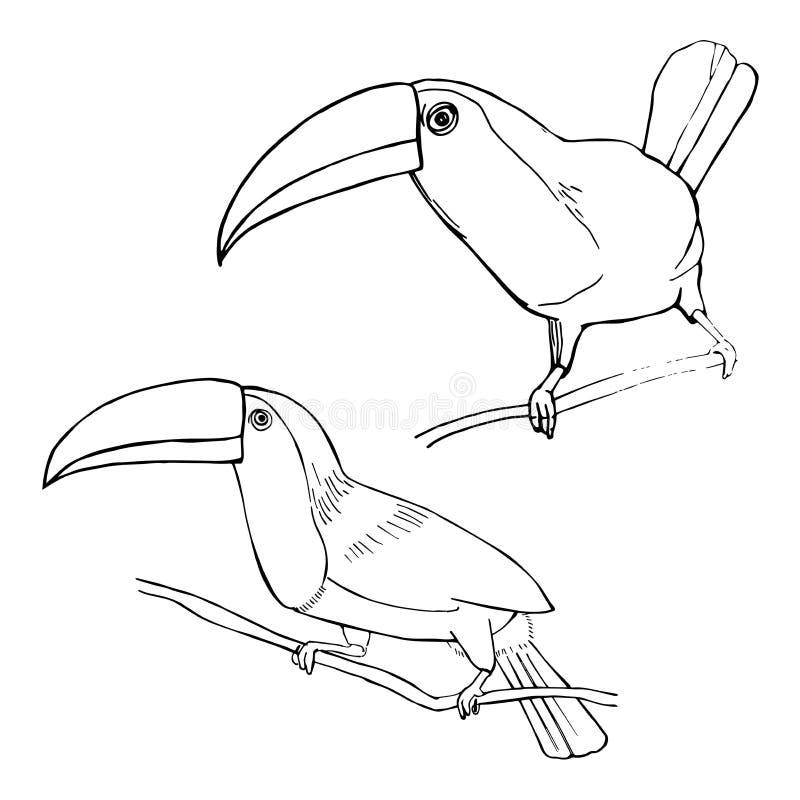 Toucan tiré par la main Illustration de croquis de vecteur illustration de vecteur