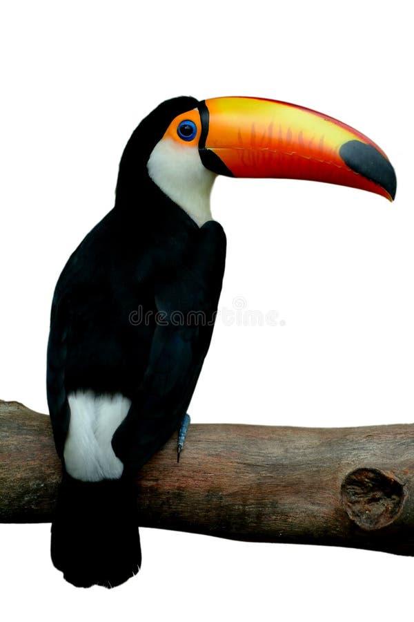 toucan toco fotografering för bildbyråer
