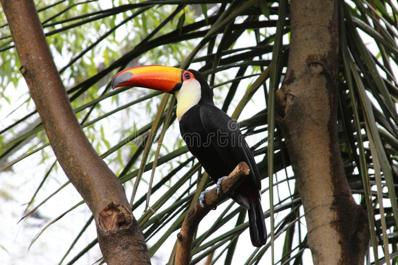 Toucan sitting in the tree royalty free stock photo