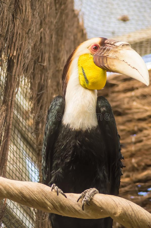 Toucan with yellow and white neck posed on a branch. In a park in Belgium stock images