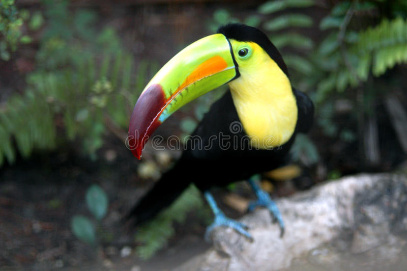 Download Toucan in Zoo stock photo. Image of head, colored, nature - 18621984