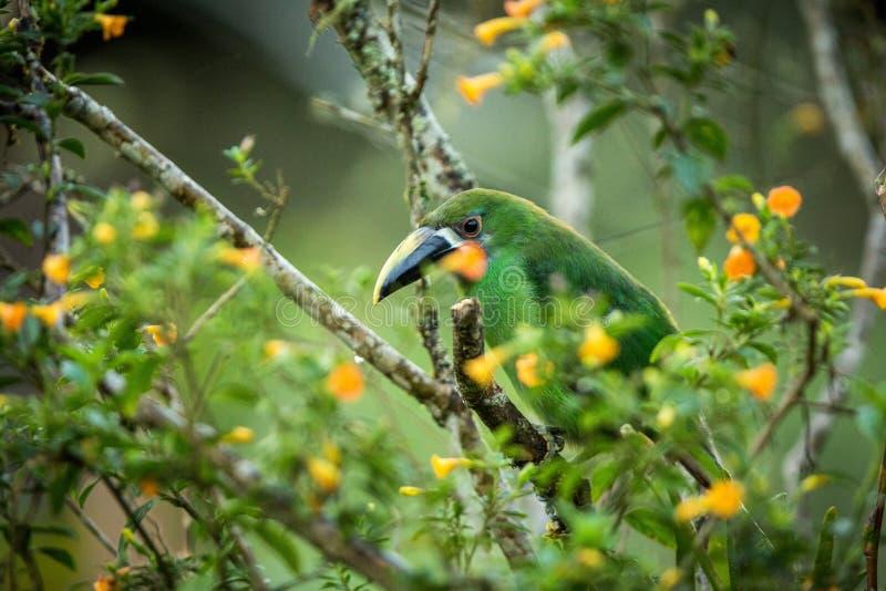 Toucanet Azul-throated, tucán verde en el hábitat de la naturaleza, animal exótico en el bosque tropical, Colombia Escena de la f foto de archivo libre de regalías