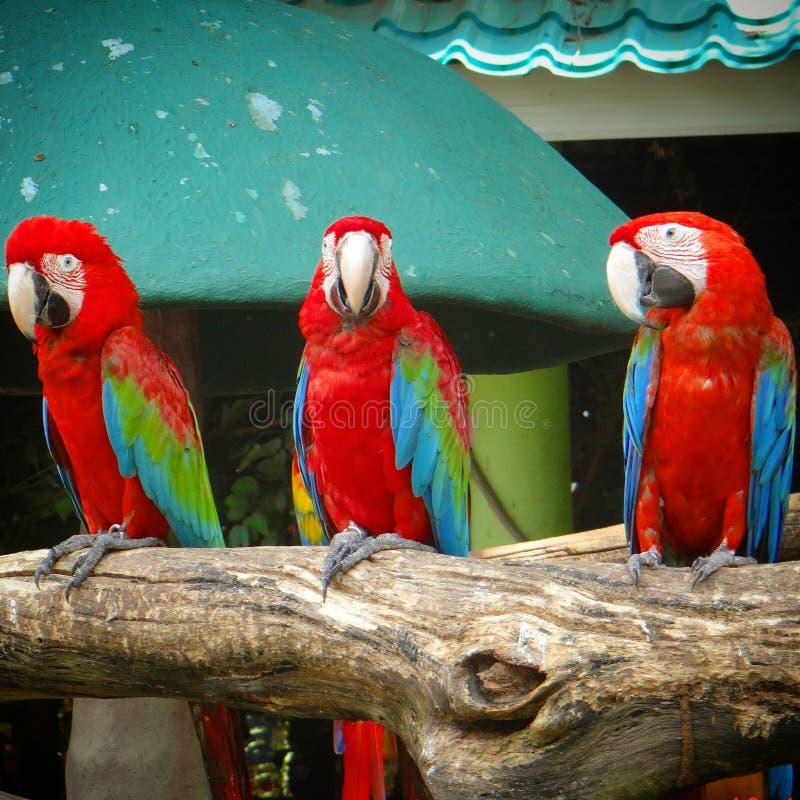 toucans arkivbilder