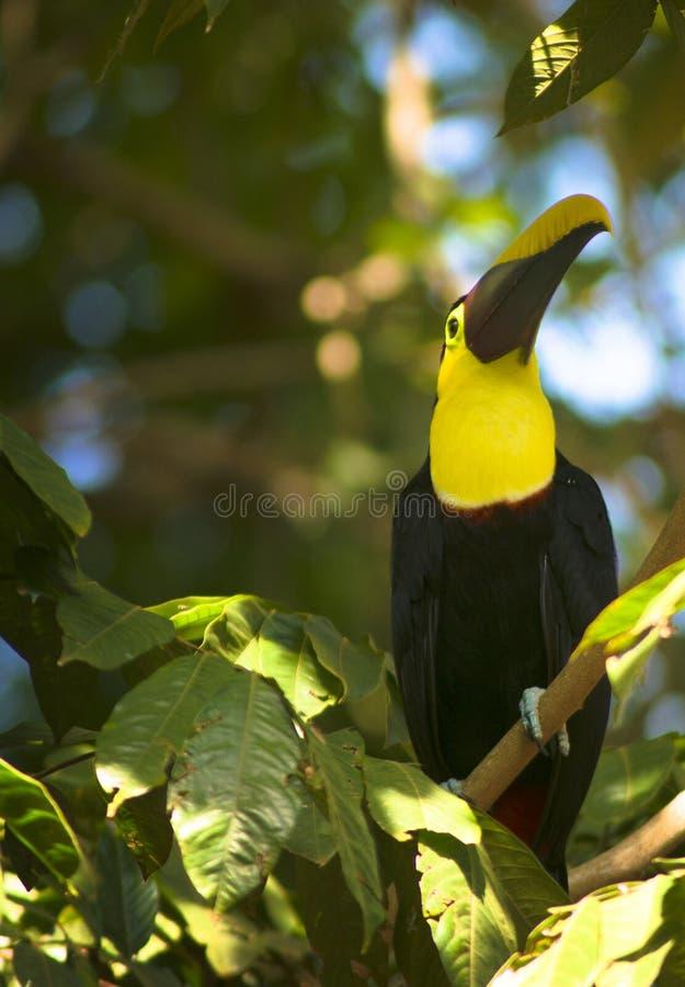 toucans image libre de droits
