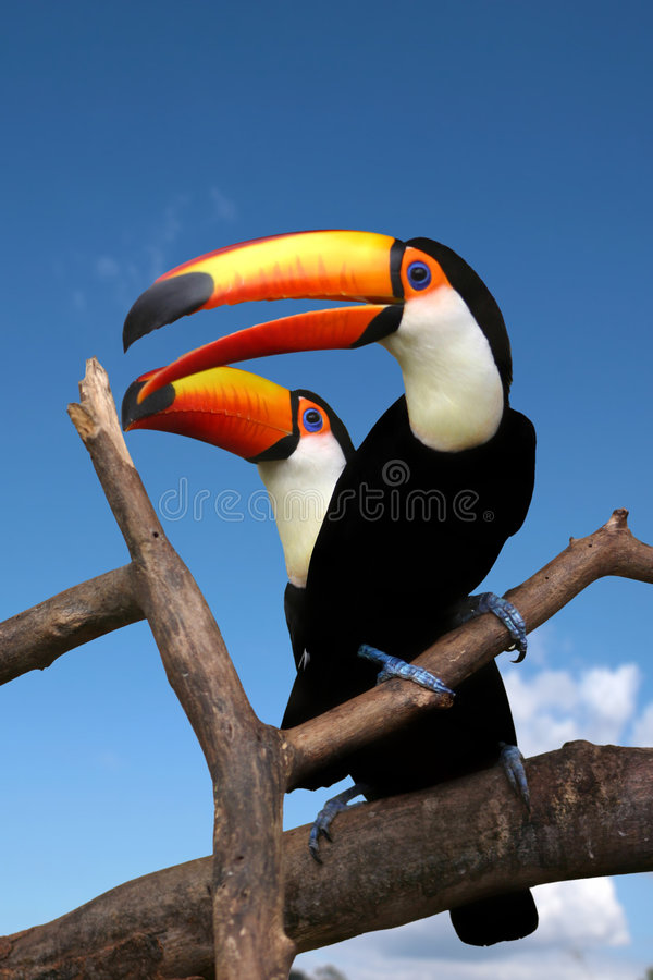 Toucans. Two toucans sitting on naked branches of tree with blue sky background