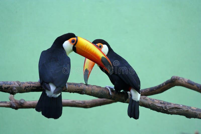 toucans två arkivfoton