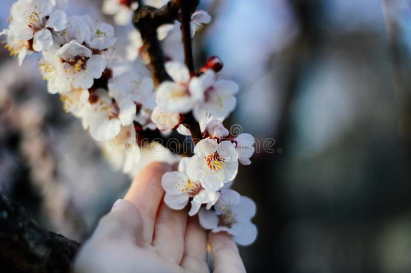 Hand touching blossoming pastel pink flowers of cherry tree in the april in the town stock photo