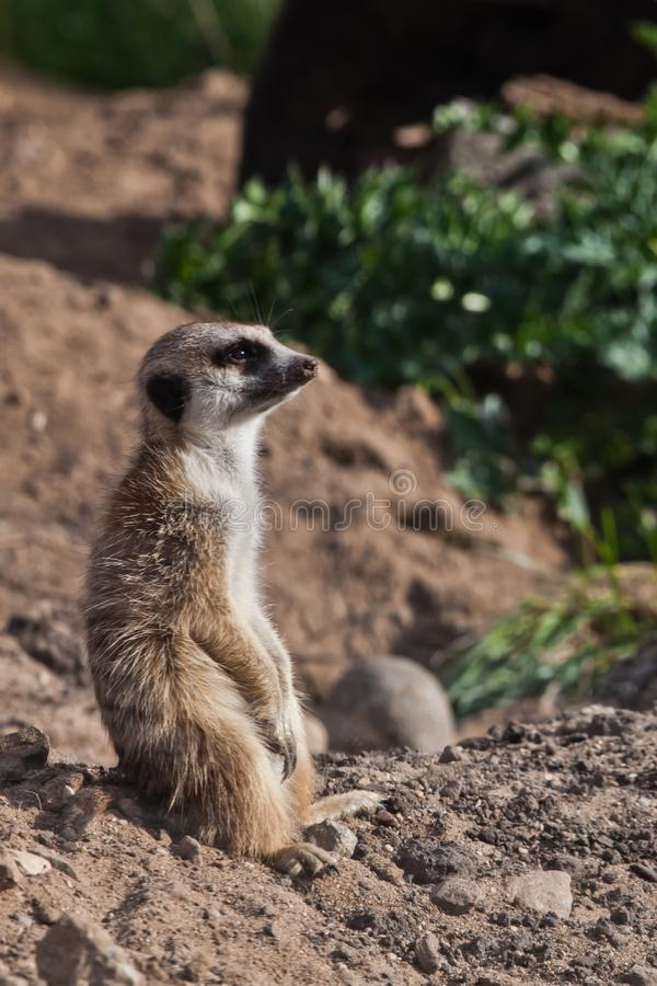 A touching and attentive eye glistens. A watchful  peppy meerkat Timon on a sandy desert background is watching closely. A touching and attentive eye glistens. A royalty free stock images