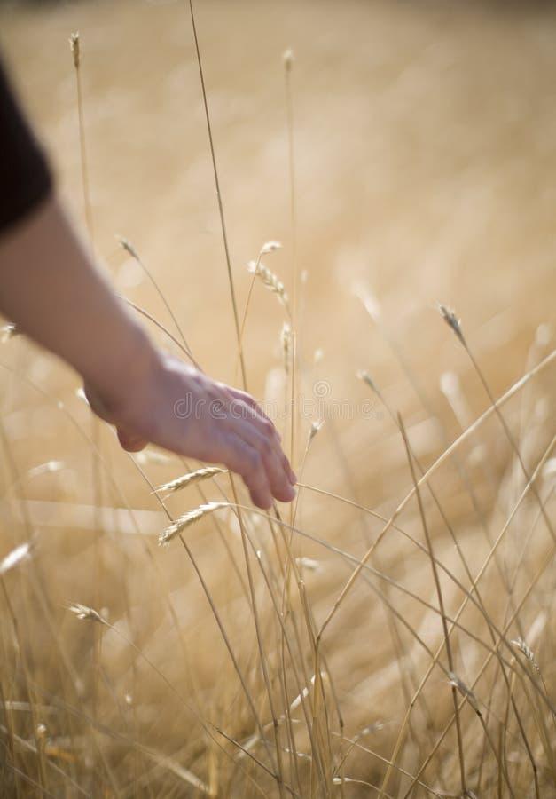 Touching wheat royalty free stock photo
